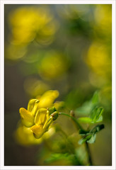 Magico Pentacon 12 (Outlaw Pete 65) Tags: macro closeup fiore flower colori colours giallo yelow verde green natura nature fujixe3 pentacon50mm brescia lombardia italia