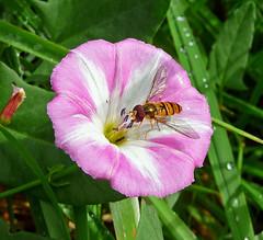 Acker-Winde mit Schwebfliege (anubishubi) Tags: lumixtz5 pflanze plant blume flower blüte blossom insekt schwebfliege ackerwinde
