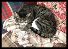 Tartan, Stripes And Roses (M E For Bees (Was Margaret Edge The Bee Girl)) Tags: merlin cat canon feline indoors cushion stripes roses sleeping asleep blanket white grey brown red pet black green