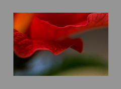 whisper (iwona.kilichowska) Tags: red closeup dof macro flower abstract colours blur colorful