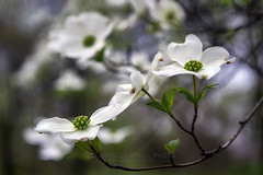 Dogwood Blossoms, 2019.04.08 (Aaron Glenn Campbell) Tags: outdoors nature closeup depthoffield shallow dogwood blossoms knoxcounty knoxville tennessee tn nikcollection viveza colorefexpro sony a6000 ilce6000 mirrorless tokina 35105mmf35 zoomlens filmera vintagelens bestcapturesaoi aoi elitegalleryaoi