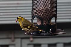 Siskin (20190408_1) (Graham Dash) Tags: carduelisspinus birds siskins 2019pad