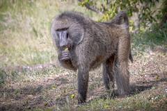 Olive Baboon with Snack (helenehoffman) Tags: africa olivebaboon papioanubis kenya anubisbaboon primate mammal conservationstatusleastconcern baboon monkey maasaimaranationalreserve animal