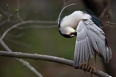 _M4_9334.jpg (rdelonga) Tags: nycticoraxnycticorax blackcrownednightheron