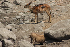 Between a Rock and a Hard Place (Rckr88) Tags: between rock hard place betweenarockandahardplace animal animals nyala nyalas warthog warthogs rocks rocky nature naturalworld outdoors wilderness wildlife krugernationalpark southafrica kruger national park south africa