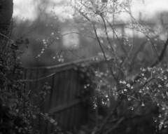 Wintersweet 2 (Vidwatts) Tags: aeroektar ilforddelta100 neofinblue speedgraphic winter