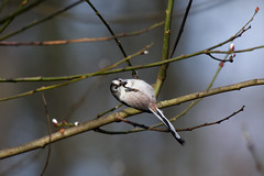 Long-tailed tit (Alex Srdic) Tags: uk england hampshire newforest southampton ringwood blashford blashfordlakes woodland woodlandhide hide birdhide bird birds passerine passerines ltt longtailedtit tit
