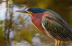Green Heron (Gary R Rogers) Tags: oregon pond bird greenheron