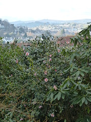 P1180534 (jrcollman) Tags: camelliajcwilliams dartmoor haytor camellia places plants devon europeincldgcanaries 21beechwoodgarden archived britishisles cplant