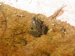 Green Frog (D. S. Hałas) Tags: halas hałas canada ontario sudburydistrict manitoulindistrict killarneyprovincialpark killarney chikanishingtrail chordata sarcopterygii amphibia anura ranidae lithobatesclamitans ranaclamitans greenfrog frog