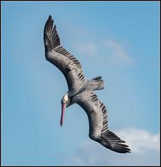 Pelícano (Totugj) Tags: nikon d7500 nikkor 55300mm pelícano birds pájaros aves alas cielo animales naturaleza