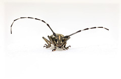 Psacothea hiraris (optexSide) Tags: psacothea hiraris taiwan coleoptera bug insecta insect nature macro npust cerambycidae