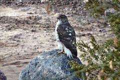 Sharp-Skinned Hawk (Edhorton) Tags:
