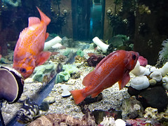 Pair Of Vermilion Rock Fish. (dccradio) Tags: myrtlebeach sc southcarolina horrycounty ripleysaquarium aquarium broadwayatthebeach ripleys water swim swimming fish montereywhart rockfish vermilionrockfish vermilionseaperch redrockcod redsnapper rasher canon powershot elph 520hs action motion blur blurred blurry pair duo duet two winter february monday goodafternoon mondayafternoon afternoon