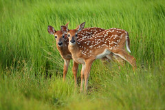 Adorable Twin Fawns in Shenandoah National Park (Bryan Carnathan) Tags: fawns fawn whitetail whitetails deer shenandoahnationalpark shenandoah snp bigmeadows virginia va spring green animal animals wildlife photography outdoor outdoors photographer nature baby babies canon