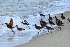Follow the leader (thomasgorman1) Tags: shore beach sandpipers birds fly takeoff mexico nikon nature coast sea cortez