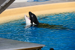 Orca Performance [12] (Ian R. Simpson) Tags: orca whale animal killerwhale loroparque zoo tenerife canaryislands spain swimming pool water puertodelacruz
