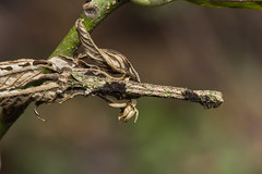 IMG_4428 camouflage ,   尺蛾科 Geometridae (vlee1009) Tags: 2019 60d canon march nantou taiwan nature camouflage moths caterpillars