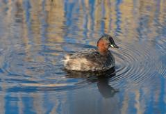Little Grebe -8502771 (seandarcy2) Tags: birds wild wildlife waterbird grebe little littlegrebe fenland cambs uk