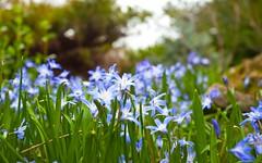 Park Woodland Floor (Adam Swaine) Tags: flora flowers parks londonparks england english petals woodlandfloor canon naturelovers nature uk peckhamryepark se15 beautiful spring blue britain british 2019