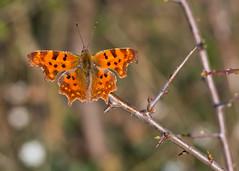 farfalla (Roberto_Mosca) Tags: