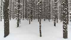 'Through Black Spruce' No. 2 (Canadapt) Tags: spruce winter snow trees forest pattern graphic keefer canadapt blackspruce animal tracks
