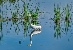 great white egret (shawbrigid) Tags: bird watcher great white egret
