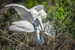 Courtship Success !! - Great Egret (Arda alba) (Gordon Magee) Tags: bird greategretardaalba pinckneynationalwildliferefuge southcarolina breedingadult