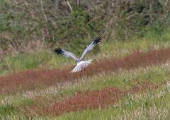13 04 2019 (cathyk31) Tags: oiseau busardsaintmartin accipitridés accipitriformes circuscyaneus northernharrier bird