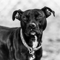 Penny18Jan201910-Edit.jpg (fredstrobel) Tags: dogs pawsatanta phototype atlanta blackandwhite usa animals ga pets places pawsdogs decatur georgia unitedstatesofamerica us