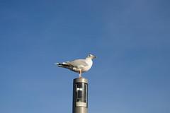 Shithawk Looking For Target (Eisbär auf Taiwan) Tags: deutschland baltic beach sea schleswigholstein ostsee heiligenhafen