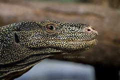 Varanus salvadorii (PETERS & DORIA, 1878) (Adrien Farese) Tags: zoo amnéville animals animaux nikon téléobjectif 200500 mm varanus salvadorii newguinea varan vivarium tropical varanoid lizard lézard crocodile monitor géant papouasie d750