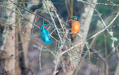_IGP5803.jpg (Focale8) Tags: oiseau martinpecheur