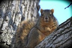 Squirrel, Morton Arboretum. (EOS) 449 (Mega-Magpie) Tags: canon eos 60d outdoors nature wildlife tree squirrel the morton arboretum lisle dupage il illinois usa america