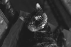 IMG_3429BW Lola, Mallorca (Fernando Sa Rapita) Tags: gato gatito gatita cat mascota pet blancoynegro bw canon canoneos eos6d