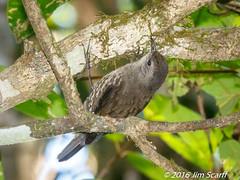 White-throated Treecreeper (Jim Scarff) Tags: australianbirds cormobatesleucophaea passerines treecreepers whitethroatedtreecreeper exif:aperture=ƒ13 exif:lens=ef100400mmf4556lisiiusm14xiii camera:model=canoneos7dmarkii camera:make=canon geo:location=chamberswildliferainforestlodge exif:focallength=299mm exif:isospeed=1600 exif:model=canoneos7dmarkii exif:make=canon