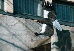 Steller's sea eagle (TheSaOk) Tags: korkeasaari zoo eläintarha kuningasmerikotka haliaeetuspelagicus stellersseaeagle eagle kotka japan flying bird birdlife linnut lentävä