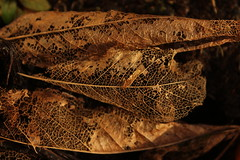 Magnolia Leaf Decay (mcginley2012) Tags: magnolialeaf decay patterns leafpatterns leafveins leaflines leaf nature light eveninglight macro closeup gold black beauty skeleton remnant smallisbeautiful