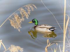 PATO (BLAMANTI) Tags: patos aves avesdeespaña avesacuaticas colorido bonito hermoso lago canon canonpowershotsx60 blamanti