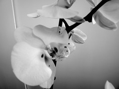 harada-flowers-66 (annie harada) Tags: flowers hana blumen fleurs bouquet noir et blanc black white
