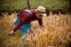 Anachronisme (Jean-Pierre Bérubé) Tags: jeanpierrebérubé jpdu12 foin champ récolte blé wheat faux stbenoit ferme agriculture nikon d5300