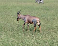 Topi (Mark Vukovich) Tags: topi antelope mammal tanzania grasslands flooded