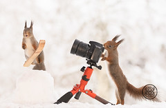 Red squirrel is standing on skis another behind a camera (Geert Weggen) Tags: squirrel camera red animal backgrounds bright cheerful close color concepts conservation culinary cute damage day earth environment environmental equipment love valentine photo winter snow openmouth ski sport wintersport geert bispgården jämtland sweden weggen hardeko ragunda