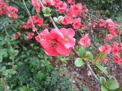 Thursday, 21st, Flowering quince IMG_4347 (tomylees) Tags: publicgardens bocking braintree essex march 2019 21st thursday project 365
