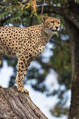Cheetah quite high... (Tambako the Jaguar) Tags: cheetah big wild cat posing portrait log tree high sky looking basel zoo zolli switzerland nikon d5