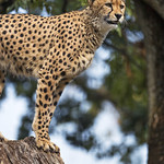 Cheetah quite high... thumbnail