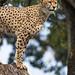 Cheetah quite high...
