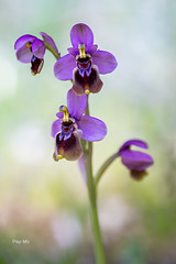 Ophrys Thenthredinifera -5224 f (pep_mir01) Tags: roja orchid orquidea flor primavera acercamiento macro color sony