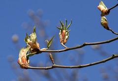 Kastanie, Ross- Hybride / horse chestnut hybrid (Aesculus x mutabilis Penduliflora) (HEN-Magonza) Tags: botanischergartenmainz mainzbotanicalgardens rheinlandpfalz rhinelandpalatinate deutschland germany frühling spring flora rosskastanienhybride rosskastanie horsechestnuthybrid aesculusxmutabilispenduliflora