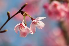 cherry blossoms (Christine_S.) Tags: pink blue nature spring sky blossom japan flowers pinkflowers eos canon mirrorless m5 bokeh 桜 さくら サクラ オカメザクラ sakura tree ngc npc coth5